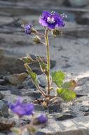 Phacelia parryi