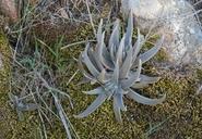 Dudleya alainae