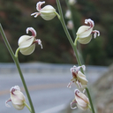 Streptanthus albidus
