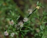 Galium catalinense ssp. catalinense