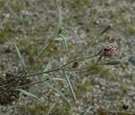 Palafoxia arida