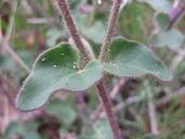 Mirabilis californica