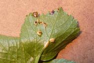 Puccinia smyrnii