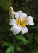 Lilium rubescens