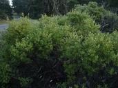 Arctostaphylos bakeri ssp. bakeri