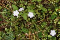 Phacelia insularis