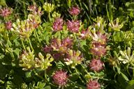 Trifolium sp. nov. aff. fucatum