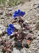 Phacelia campanularia var. campanularia