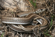 Cross-marked Whip Snake