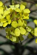 Erysimum menziesii ssp. eurekense