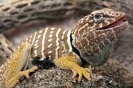 Baja Black-collared Lizard
