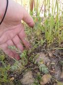 Dudleya variegata