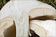 Melanoleuca cognata var. cognata