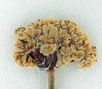 Eriogonum nudum var. murinum