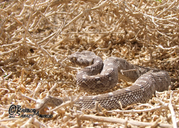 Sindhi Saw-scaled Viper