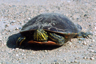 Chrysemys picta (Schneider, 1783) tortue peinte [Painted turtle]
