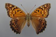 Asterocampa clyton (Boisduval & Le Conte, [1835]) [Tawny Emperor]