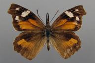 Libytheana carinenta (Cramer, [1777]) [American Snout]
