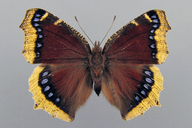 Nymphalis antiopa (Linnaeus, 1758) [Mourning Cloak]