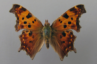 Polygonia comma (Harris, 1842) [Eastern Comma]