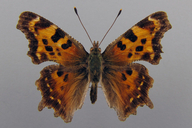 Polygonia faunus (W.H. Edwards, 1862) [Green Comma]