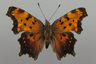 Polygonia gracilis (Grote& Robinson, 1867) [Hoary Comma]