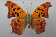 Polygonia interrogationis (Fabricius, 1798) [Question Mark]