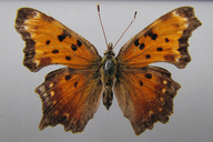 Polygonia progne (Cramer, [1776]) [Grey Comma]