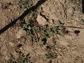 Trifolium kingii