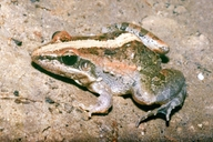 Mozambique Ridged Frog