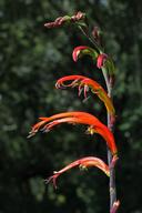 Chasmanthe bicolor