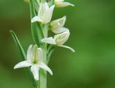 Platanthera dilatata var. leucostachys