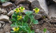 Ranunculus eschscholtzii