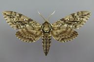 Ceratomia undulosa (Walker)