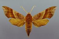 Darapsa choerilus (=D. pholus)