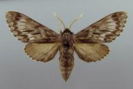 Lapara bombycoides Walker, 1856