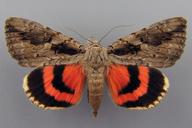 Catocala amatrix (Hübner, 1809-13)
