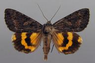 Catocala antinympha (Hübner, 1823)