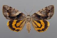 Catocala blandula Hulst, 1884