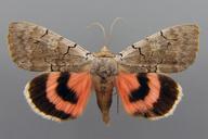 Catocala concumbens Walker, [1858]