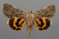 Catocala grynea Cramer, 1780