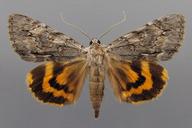 Catocala habilis Grote, 1872