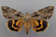Catocala neogama (J.E. Smith, 1797)