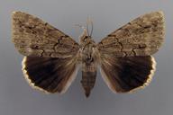 Catocala obscura Strecker, 1873