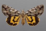 Catocala praeclara Grote and Robinson, 1866