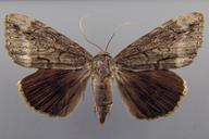 Catocala residua Grote, 1874