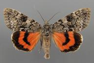 Catocala semirelicta Grote 1874