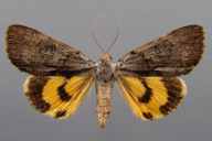 Catocala sordida (Grote, 1877)