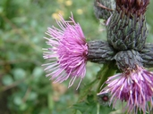 Cirsium muticum (chardon mutique) [Swamp thistle]