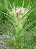 Cirsium scariosum var. scariosum